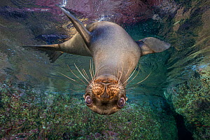 California sea lion (Zalophus californianus) looking down from the surface. Los Islotes, La Paz, Baja California Sur, Mexico. Sea of Cortez, Gulf of California, East Pacific Ocean. - Alex Mustard
