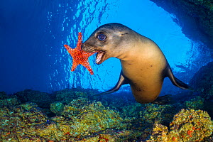 California sea lion (Zalophus californianus) uses a Panamic cushion star (Pentaceraster cumingi) as a toy. The sealions pick up the starfish and then drop them and chase after them as they sink. Los I...  -  Alex Mustard