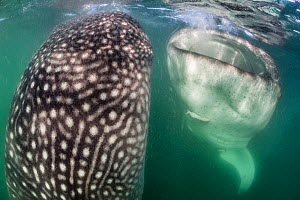 Whale sharks (Rhincodon typus) bottle feeding, by floating stationary, upright in the water and gulping in food, in the plankton rich, green waters of La Paz bay. La Paz, Baja California Sur, Mexico.... - Alex Mustard