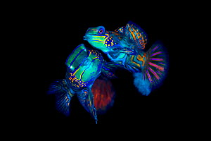 Mandarinfish (Synchiropus splendidus) pair spawning. The larger male (behind) is lifting the female into the spawning rise on his pectoral fin, the smaller female (foreground) is releasing eggs, clear... - Alex Mustard