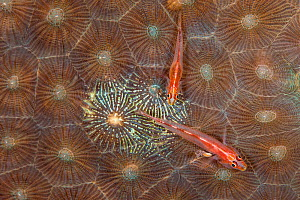 Pair of Michel's gobies (Pleurosicya micheli) laying eggs on an area of hard coral that they have cleared of coral tissue. The male is the larger individual, the female has a swollen belly. Bitung, No... - Alex Mustard