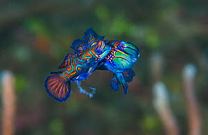 Pair of Mandarinfish (Synchiropus splendidus) spawning. The larger male (behind) is lifting the female into the spawning rise on his pectoral fin, the smaller female (foreground) is releasing eggs, cl... - Alex Mustard
