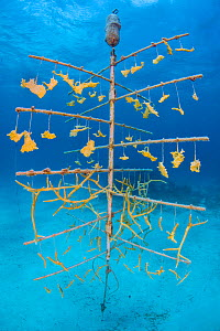 Fragments of Elkhorn coral (Acropora palmata) and Staghorn coral (Acropora cervicornisgrowing) hung on coral propagation tree, as part of a coral conservation nursery project. East End, Grand Cayman.... - Alex Mustard