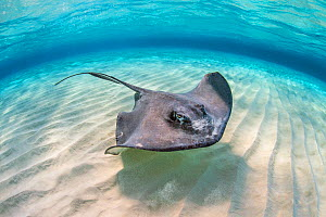 Southern stingray (Dasyatis americana) female swimming over a shallow sand bank with ripples. Stingray City Sandbar, Grand Cayman, Cayman Islands, British West Indies. Caribbean Sea. - Alex Mustard