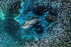 Long exposure of  Tarpon (Megalops atlanticus) hunting Silversides (Atherinidae) inside a coral cavern. George Town, Grand Cayman, Cayman Islands, British West Indies. Caribbean Sea. - Alex Mustard