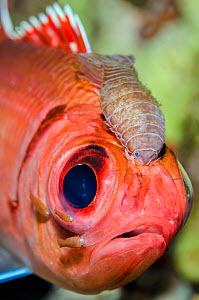 Portrait of a Blackbar soldierfish (Myripristis jacobus) infected with Cymothoid isopod parasites. The large parasite between the eyes is a female, the smaller individuals are males. Seven Mile Beach,...  -  Alex Mustard