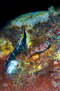 Rhinoceros triplefin (Helcogramma rhinoceros) male displaying his dark mating colours and lifts his extended snout to impress a more drably coloured female as she lays eggs in their nest. Seraya, Tula...  -  Alex Mustard