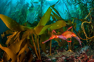 Weedy seadragon (Phyllopteryx taeniolatus) male carries eggs through a kelp forest (Macrocystis pyrifera) in Tasmania, Australia. Tasmania is the only part of Australia with giant kelp forests. The ke...  -  Alex Mustard