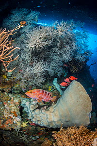 Rich reef scene, showing marine life thriving in a cavern on a coral reef, with large sponges and Black coral (Antipathes sp.), Sixbar grouper (Cephalopholis sexaculata) and Whitetip soldierfish (Myri...  -  Alex Mustard