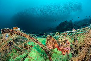 Poss's scorpionfish (Scorpaenopsis possi) is trapped in a discarded fishing net, which has continued ghost fishing and is still killing fish. The photographer released this fish from the net after tak... - Alex Mustard