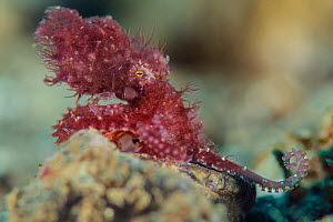 Small hairy octopus (Octopus sp. currently undescribed), one of the smallest octopus species, that is camouflaged by a hair-like covering on its body. Ambon Bay, Ambon, Maluku Archipelago, Indonesia....  -  Alex Mustard