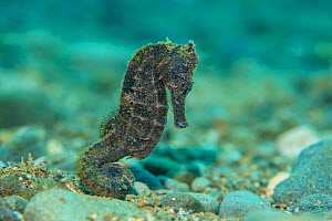 Yellow seahorse (Hippocampus kuda) female moves across a pebbly seabed in shallow water. Ambon Bay, Ambon, Maluku Archipelago, Indonesia. Banda Sea, tropical west Pacific Ocean.  -  Alex Mustard