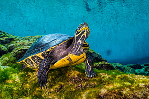 Portrait of a Suwanee cooter (Pseudemys concinna suwanniensis) in a freshwater spring. Gilchrist Blue Springs State Park, High Springs, Florida, USA  -  Alex Mustard