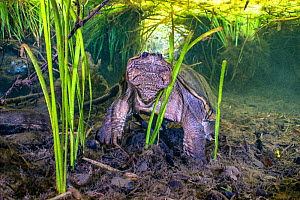 Common snapping turtle (Chelydra serpentina) beneath a canopy of aquatic plants. Ichetucknee Springs State Park, Fort White, Florida, USA  -  Alex Mustard