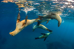 Group of young California sea lions (Zalophus californianus) playing in the sun in the early morning. Santa Barbara Island, Channel Islands. Los Angeles, California, USA. North East Pacific Ocean. - Alex Mustard