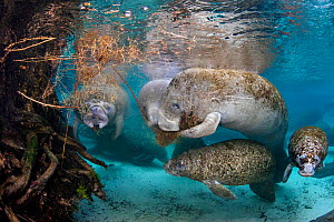 Florida manatees (Trichechus manatus latirostris) females feeding on vegetation that has fallen into the water, while their babies play. Three Sisters Spring, Crystal River, Florida, USA - Alex Mustard