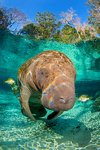 Florida manatee (Trichechus manatus latirostrus) with Blue gill sunfish (Lepomis macrochirus) cleaning it, in a freshwater spring, beneath trees. Three Sisters Spring, Crystal River, Florida, USA - Alex Mustard