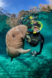 Young Florida manatee (Trichechus manatus latirostris) plays with a snorkeller. Three Sisters Spring, Crystal River, Florida, USA. - Alex Mustard