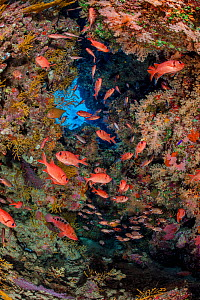 Shoal of a Red Sea soldierfish (Myripristis murdjan) and Sixbar grouper (Cephalopholis sexmaculata) shelter in a coral filled cave. Ras Mohammed National Park, Sinai, Egypt. Red Sea.  -  Alex Mustard