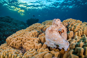 Reef octopus (Octopus cyanea) emerges from its den in a hole in a large hard coral (Porites sp.) at sunset. Sha'ab Mahmood, Sinai, Egypt. Red Sea  -  Alex Mustard