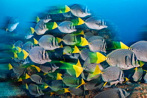 RF - Long exposure of a school of yellowtail surgeonfish (Prionurus punctatus), these fish school to help them access the best feeding areas, which are controlled by aggressive damselfish. Los Islotes...  -  Alex Mustard