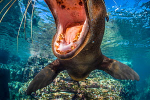 RF - California sea lion (Zalophus californianus) with mouth open close to the camera. The milk teeth of this pup show decay, which is quite usual. Los Islotes, La Paz, Baja California Sur, Mexico. Se...  -  Alex Mustard