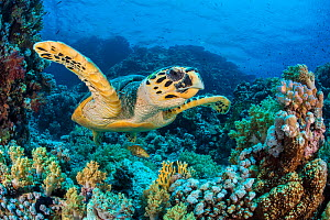 RF - Hawksbill sea turtle (Eretmochelys imbricata) swimming over a coral reef. Whilst a Predatory bandcheek wrasse (Oxycheilinus digrammus) is hiding underneath the turtle to enable it to sneak closer... - Alex Mustard