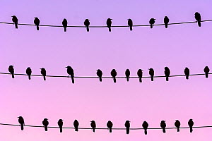 RF - Flock of Boat-tailed grackle (Quiscalus major) on wires at dawn. Crystal River, Florida, United States (This image may be licensed either as rights managed or royalty free.)  -  Alex Mustard