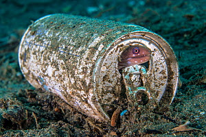 RF - Barred-fin moray (Gymnothorax zonipectis) sheltering in a discarded aluminium drink can. Ambon Bay, Ambon, Maluku Archipelago, Indonesia. Banda Sea, tropical west Pacific Ocean. (This image may b...  -  Alex Mustard