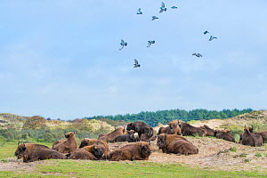 RF -European bison (Bison bonasus) herd resting with Rock pigeon (Columba livia) flock. Zuid-Kennemerland National Park, the Netherlands. Reintroduced species. (This image may be licensed either as ri... - Edwin Giesbers