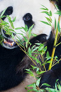 RF - Giant panda (Ailuropoda melanoleuca) feeding on bamboo, captive. (This image may be licensed either as rights managed or royalty free.) - Edwin Giesbers