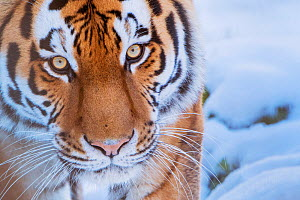 RF - Siberian tiger (Panthera tigris altaica) in snow, captive. (This image may be licensed either as rights managed or royalty free.) - Edwin Giesbers