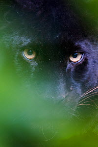 RF - Black panther / melanistic Leopard (Panthera pardus) peering through leaves, captive. (This image may be licensed either as rights managed or royalty free.) - Edwin Giesbers