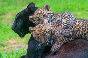 RF - Black panther / melanistic Leopard (Panthera pardus) female with normal spotted cubs playing on her back, captive. (This image may be licensed either as rights managed or royalty free.)  -  Edwin Giesbers