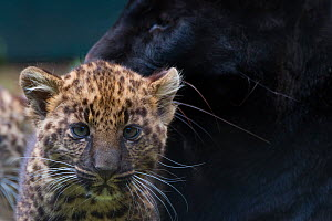 RF - Black panther / melanistic Leopard (Panthera pardus) female with normal spotted cubs,  captive. (This image may be licensed either as rights managed or royalty free.) - Edwin Giesbers