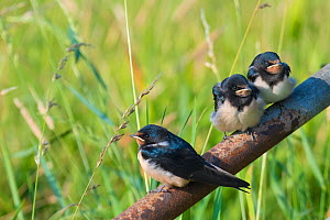 RF - Barn swallow (Hirundo rustica) fledglings perched on pipe, The Netherlands. (This image may be licensed either as rights managed or royalty free.) - Edwin Giesbers