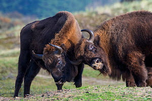 RF -European bison (Bison bonasus) fighitng Zuid-Kennemerland National Park, the Netherlands. Reintroduced species. (This image may be licensed either as rights managed or royalty free.)  -  Edwin Giesbers