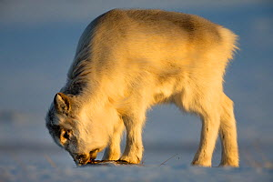 Young Svalbard reindeer (Rangifer tarandus platyrhynchus) eating. Svalbard, Norway. April. - Espen Bergersen