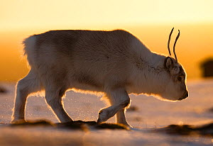 Svalbard reindeer (Rangifer tarandus platyrhynchus) walking in golden light. Svalbard, Norway. April. - Espen Bergersen