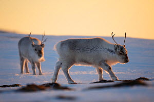 Svalbard reindeer (Rangifer tarandus platyrhynchus) in golden light. Svalbard, Norway. April. - Espen Bergersen