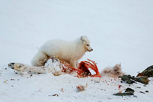 Arctic fox (Aloplex lagopus) feeding on a dead reindeer. Svalbard, Norway. April - Espen Bergersen