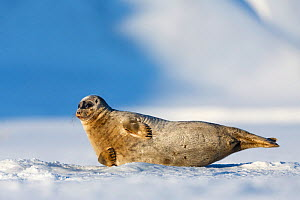 Ringed seal (Pusa hispida) by 'escape' hole in the sea ice. Tempelfjorden, Svalbard, Norway. April - Espen Bergersen