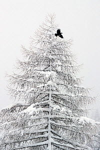 RF- Carrion crow (Corvus corone) flying from a snow covered pine tree in a winter landscape. Valsavarenche, Gran Paradiso NP, Italy, March. (This image may be licensed either as rights managed or roya... - David  Pattyn