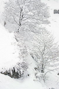 Alpine chamois (Rupicapra rupicapra) almost completely covered in snow (except for the head) in winter landscape during heavy snowfall, Valsavarenche, Gran Paradiso National Park, Italy. March  -  David  Pattyn