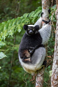 RF- Indri (Indri indri) portrait of a female with a newborn baby. Maromizaha reserve, Andasibe Mantadia area, eastern Madagascar. (This image may be licensed either as rights managed or royalty free.) - David  Pattyn