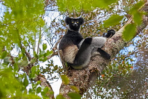 RF- Indri (Indri indri) adult sitting in a tree, Maromizaha Reserve, Andasibe Mantadia area, eastern Madagascar. (This image may be licensed either as rights managed or royalty free.) - David  Pattyn
