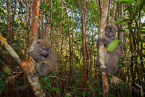 RF- Grey bamboo lemurs (Hapalemur griseus griseus) in a tree. Vakona island, Andasibe, Madagascar. Captive. (This image may be licensed either as rights managed or royalty free.) - David  Pattyn
