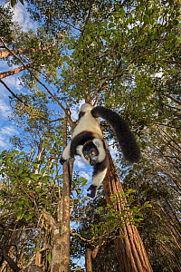RF- Black and white ruffed lemur (Varecia variegata variegata) hanging from branch, Vakona island, Andasibe area, Madagascar. Captive. (This image may be licensed either as rights managed or royalty f...  -  David  Pattyn