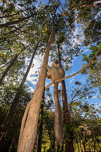 RF- Common brown lemur (Eulemur fulvus) perched in tree,  Vakona island, Andasibe, Madagascar, Captive. (This image may be licensed either as rights managed or royalty free.)  -  David  Pattyn