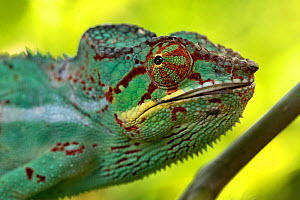 RF- Panther chameleon (Furcifer pardalis) portrait, Madagascar. Captive. (This image may be licensed either as rights managed or royalty free.)  -  David  Pattyn